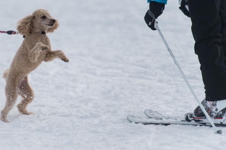 Ein Pudel begrüßt voller Freude seine Halterin auf den Skiern.