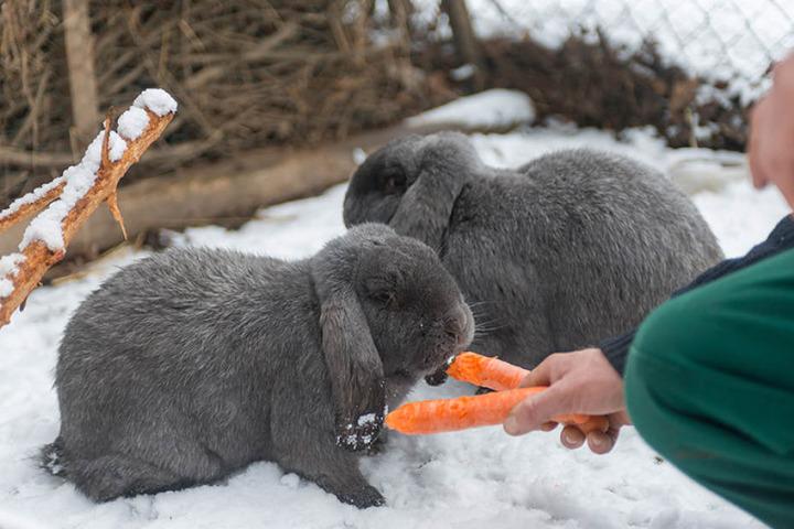 """Laut roter Liste """"stark gefährdet"""" - im sicheren Tierpark brauchen die beiden  Meißner Widder die Ohren aber nicht hängen zu lassen."""