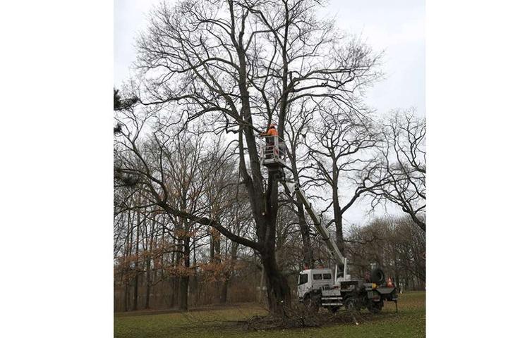 Profis fällen diesen gut 150 Jahre alten Spitzahorn im Großen Garten. Sein Zustand ist zu desolat und eine Gefahr für Parkbesucher.