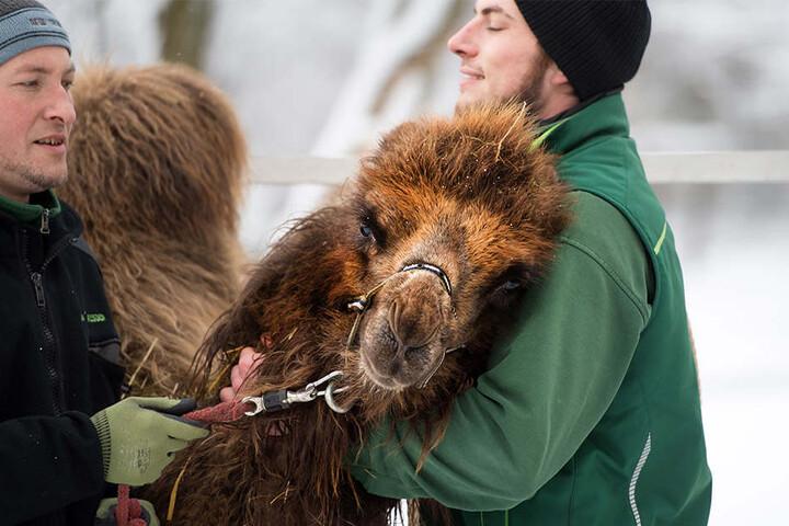 Die Trampeltierstute Wahida kuschelt vor dem Wiegen (236 kg) mit ihrem Pfleger Sylvio Kunadt (r.) und Revierleiter Thomas Sickert.