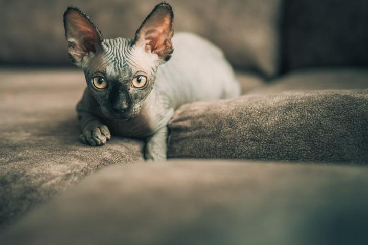 Die Sphinx Katze gehört zu den Nacktkatzen.