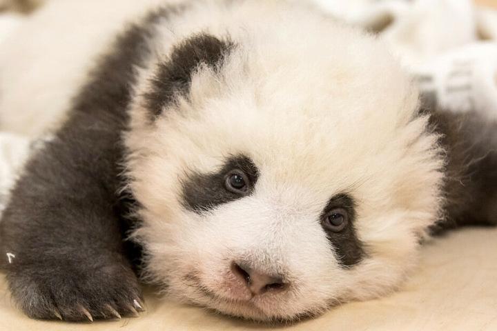 Die Panda-Bären haben vor 100 Tagen das Licht der Welt erblickt.