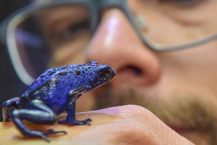 Rothert hält einen Azurblauen Baumsteiger. Im Urwald wäre diese Begegnung lebensgefährlich.