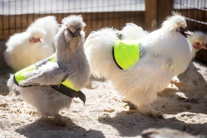Die Hühner im Zoo der Minis tragen Warnwesten. Damit wird das Federvieh vor Krähenangriffen geschützt.