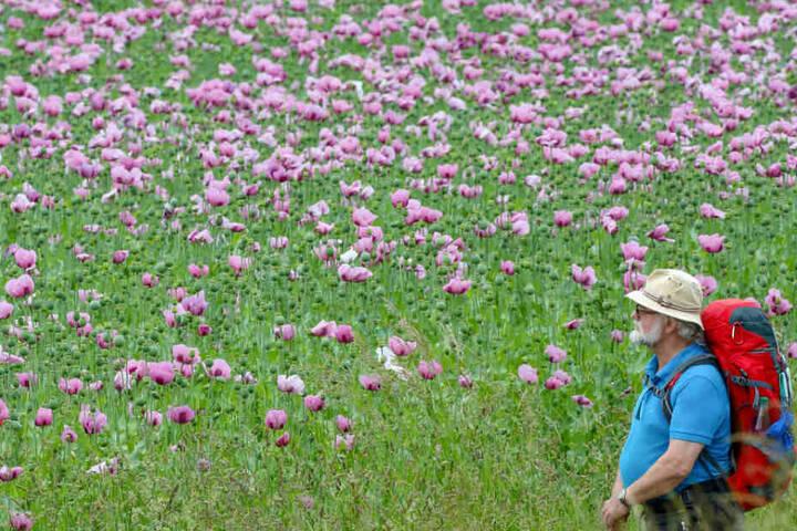 Die Blütenpracht lockt auch Wanderer und Spaziergänger an.