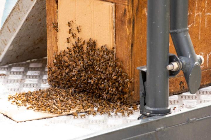 Schlussendlich ging alles gut: Das Bienenvolk wurde samt Königin abtransportiert.
