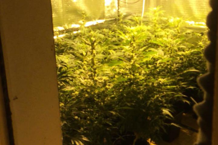 Mehr als 30 Marihuana-Pflanzen hatte der 33-Jährige in der Wohnung untergebracht.