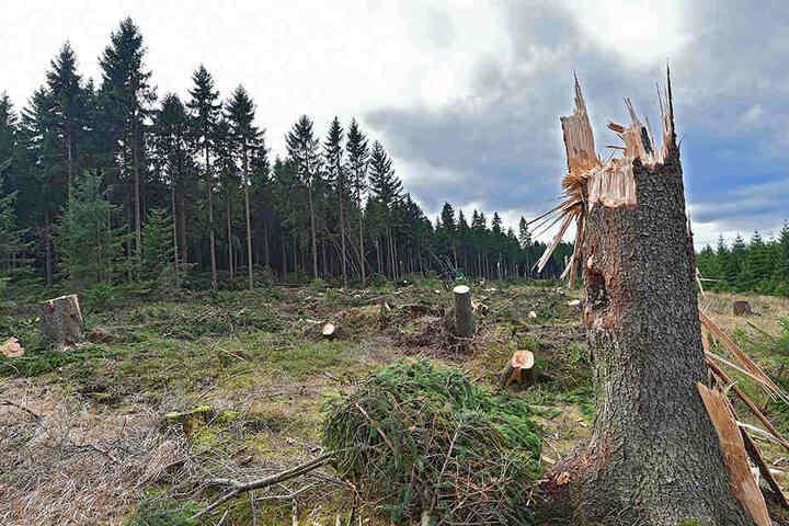 Ein Bruchwald nahe Altenberg. Die schlimmsten Schäden gab es bei Adorf (110.500 Kubikmeter), bei Marienberg (95.000 Kubikmeter), bei Bärenfels (75 000 Kubikmeter), in Neudorf und in Eibenstock.