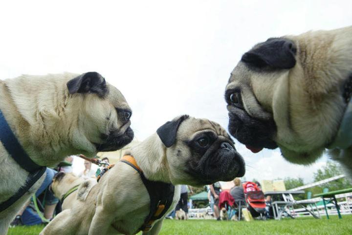 Konkurrenz auschecken: Vor dem Rennen beschnupperten die Möpse ihre Gegner.