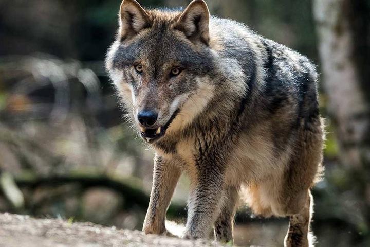 Unter bestimmten Bedingungen darf der Wolf in Brandenburg jetzt gejagt werden.