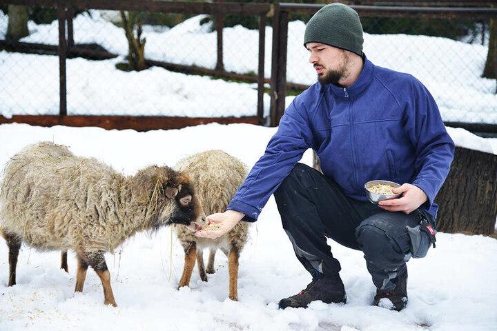 Tierpfleger Sandro Uhlig (25) vom Zoo der Minis in Aue füttert die Schafe auch bei Eis und Schnee.