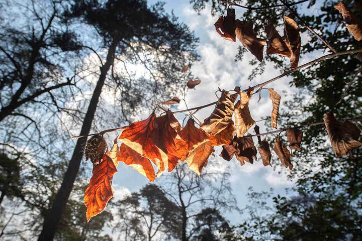 Völlig vertrocknet hängen einige Blätter an einem Baum.