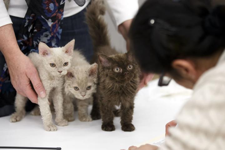 Katzen der verschiedensten Rassen gibt's bei der großen Katzenausstellung.