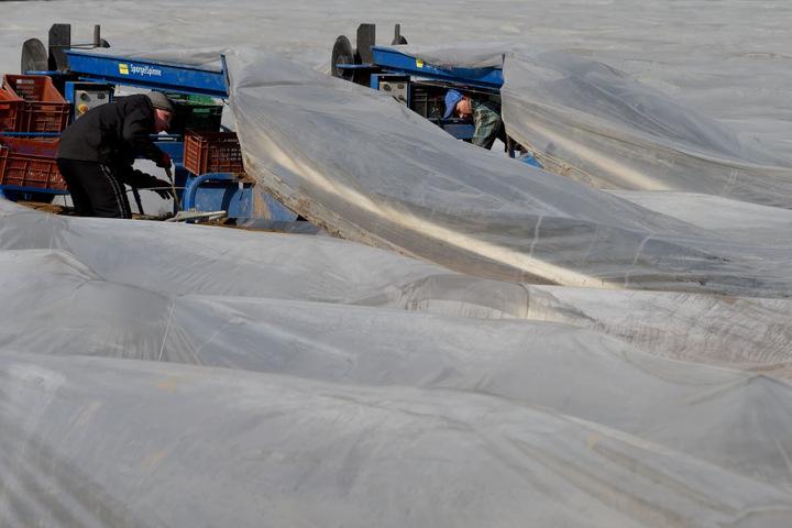 Spargelbauern auf einem mit Folien bedeckten Feld.