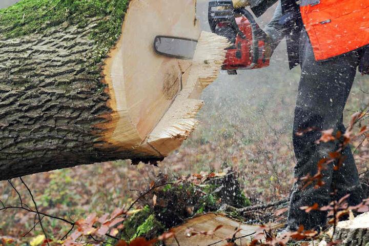 Der 22-Jährige wurde bei Fällarbeiten von einem Baum getroffen. (Symbolbild)