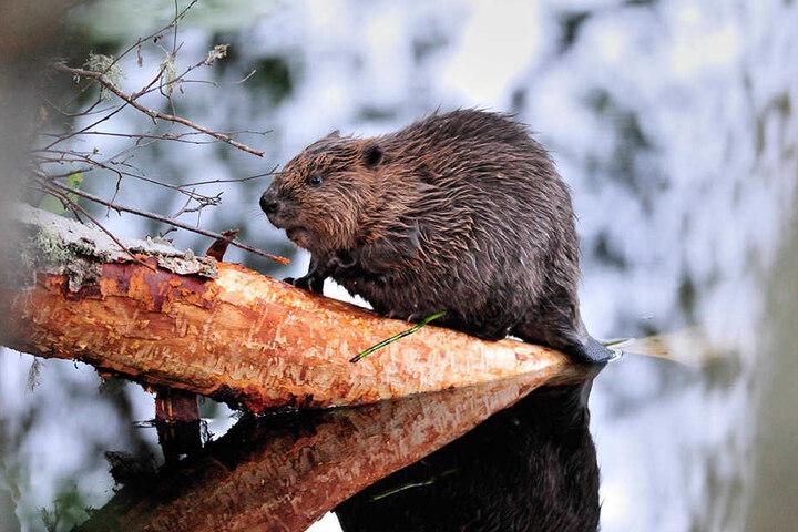 Sie nagen, bis der Baumstamm kippt. Interessant: Biberzähne wachsen ein Leben lang nach.