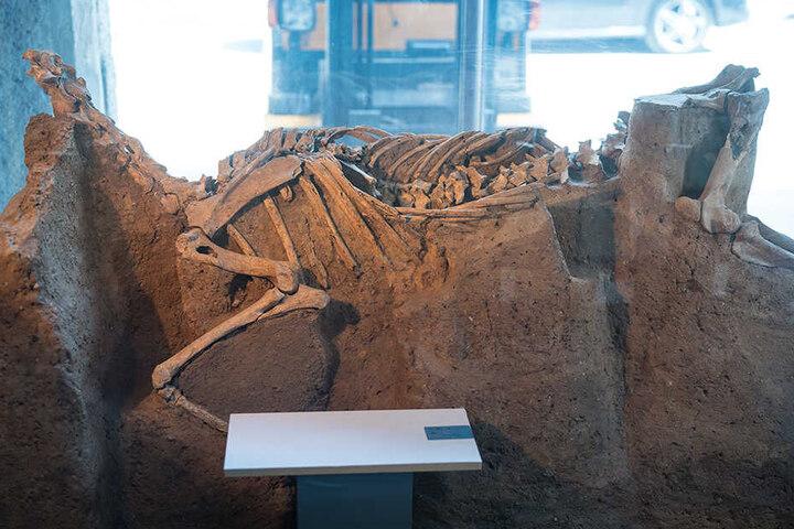"""Wurde stehend beerdigt: Das """"Pferd von Cossa"""" wurde 1998 im Tagebau Schleenhain bei Leipzig entdeckt."""