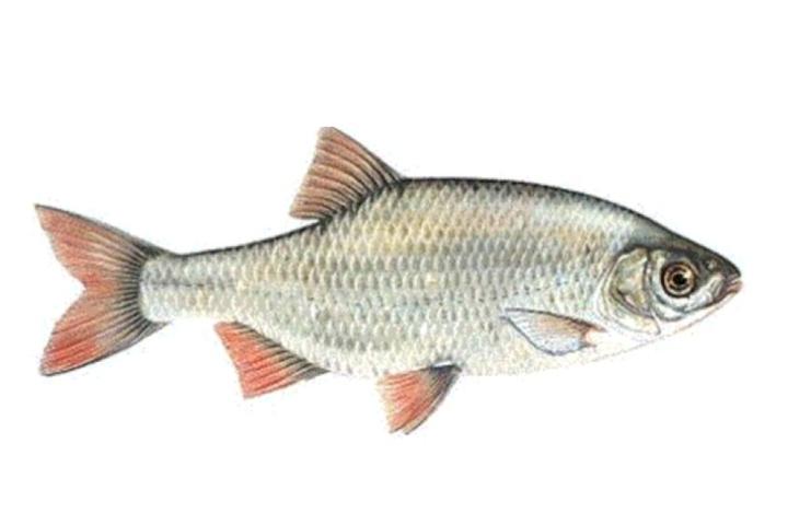 Fische dieser Art starben: eine Rotfeder.
