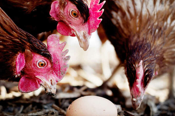 Du hast ein Huhn in der Mindener Innenstadt gesehen? Das kann gut sein! Es gibt nämlich Drei.