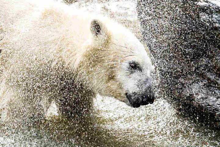Eisbärenkind Hertha spielt in ihrem Gehege im Tierpark im Wasser.