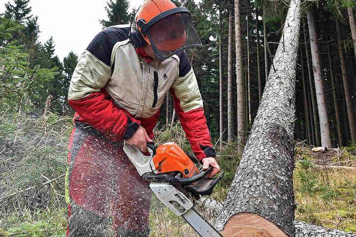 Sachsenweit laufen Aufräumarbeiten. Der Sturm verursachte 641 000 Kubikmeter  Holzschaden, den Großteil davon im Staatsforst.