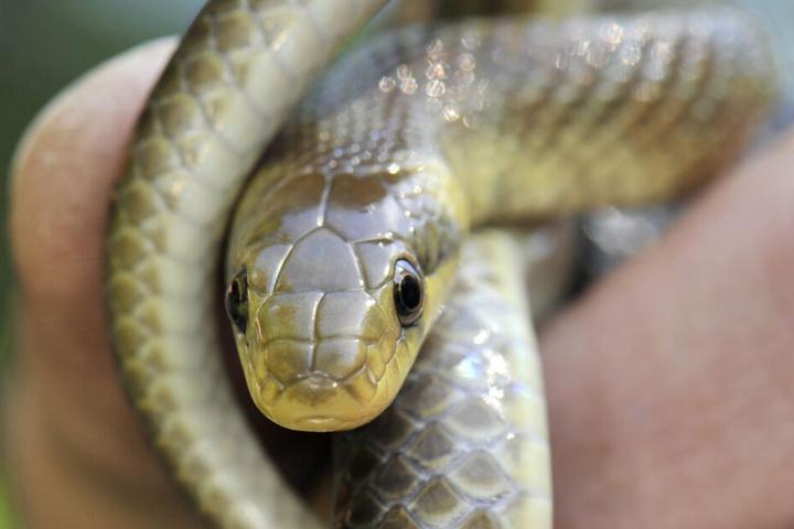 Neben 51 Riesenschlangen wurden in der Wohnung auch 9 solcher Nattern gefunden. (Symbolbild)