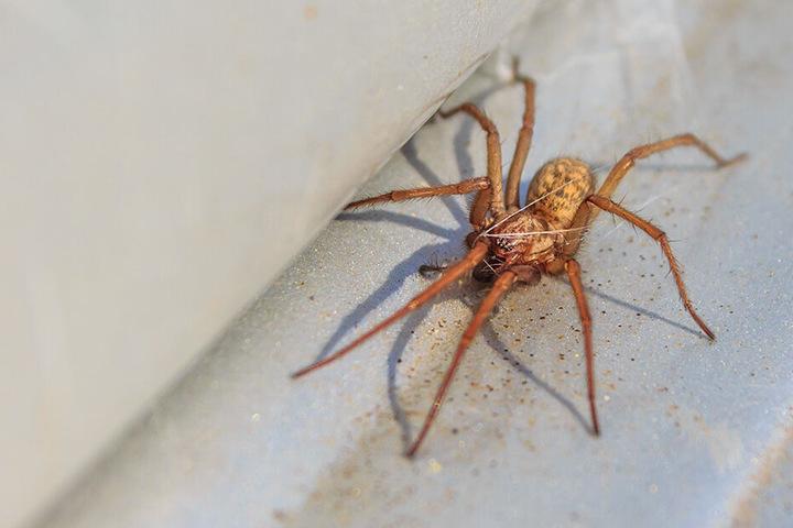 Spinnen scheinen Minze ganz und gar nicht zu mögen.