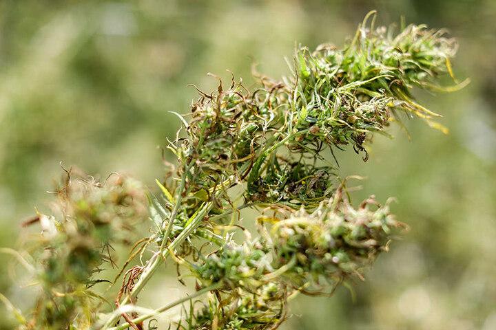Von den bis zu fünf Meter hohen Pflanzen werden vorerst nur die Blütenspitzen verwendet. Getrocknet und gepresst wird der Wirkstoff Cannabidiol (CBD) extrahiert und als Nahrungsergänzungsmittel in Form von Kapseln verkauft.