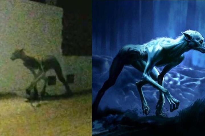 """Die Gegenüberstellung: Links die Kreatur aus Argentinien oder Brasilien, rechts der Werwolf aus """"Der Gefangene von Askaban""""."""