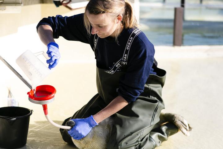 Tierärztin Ulrike Meinfelder füttert die Kegelrobben-Frühgeburt Ole.