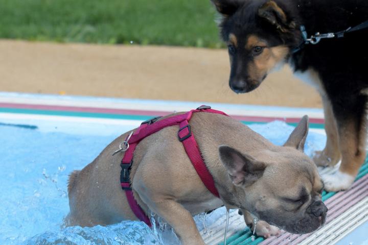 Zum Ende der Freibadesaison dürfen Hunde ins Schwimmbecken.