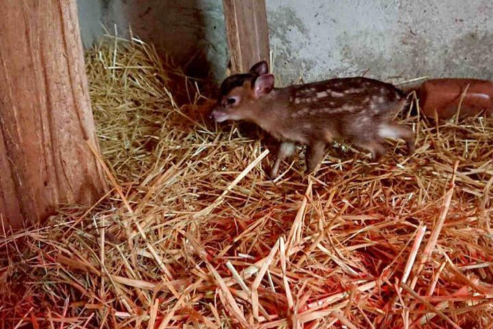 Seltener Nachwuchs im Zoo der Minis: Die Formosa Zwergmuntjaks haben ein Jungtier bekommen.