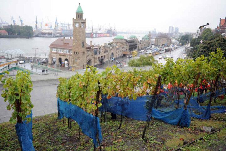 Die Weinreben am Stintfang in Hamburg sind bald Geschichte.