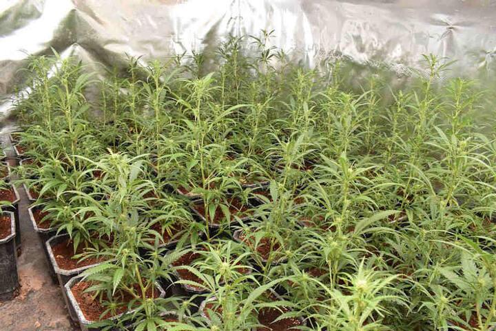 Die Polizei fand über 650 Marihuana-Pflanzen in einer Indoorplantage.