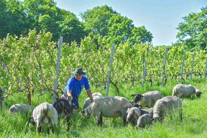 Ob Schaf oder Lamm - die Mäh-Brigade hat auf der Seußlitzer Heinrichsburg genug zu fressen.