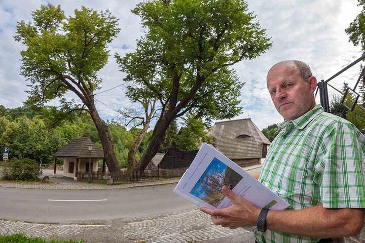 """Museumskurator Jörg Bräuer (54) hofft, dass die """"Hammerlinde"""" wenigstens noch einige Jahre erhalten bleiben kann."""