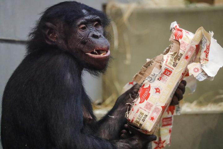 Ein Bonobo bekommt Geschenke.