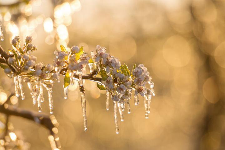 Nach der Beregnung hat sich ein leichter Eispanzer um die Blüten gebildet.