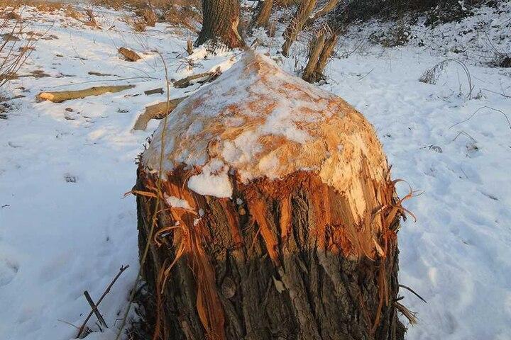 Diese fast ein Meter dicke Weide konnte das Umweltamt nicht mehr retten. In nur wenigen Tagen hat Europas größtes Nagetier den Baum zum Bleistift gespitzt.