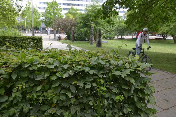 Schön gewachsen und mit dichtem Grün: So sahen die Hecken im Stadthallenpark bis vor einer Woche aus.