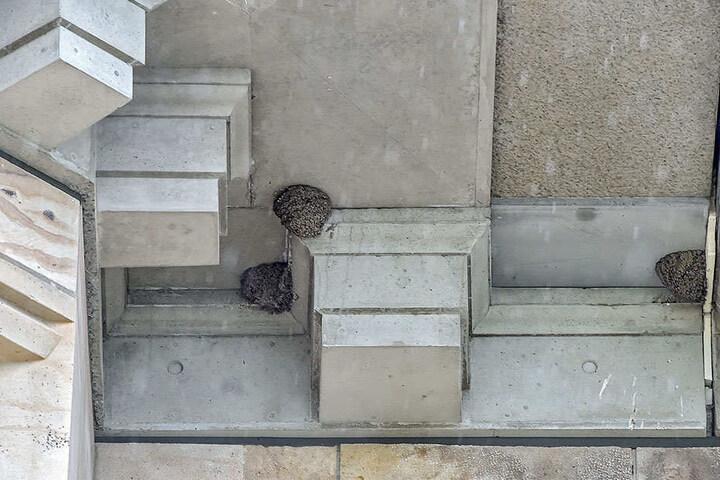 An der Albertbrücke brüten etwa 85 Schwalbenpaare in selbstgebauten Nestern.