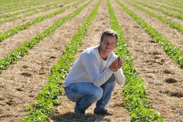 Terminkultur: Auf den Feldern von Michael Görnitz (31) in Coswig wachsen Erdbeeren. In zwei Wochen sind die Früchte reif.