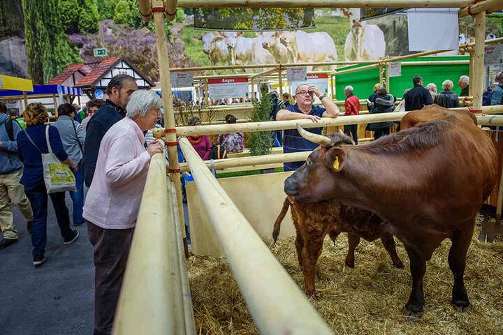 Besucher beobachten in der Tierhalle im Rahmen der 83. Internationalen Grünen Woche einen Stall.