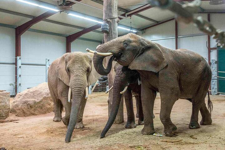 Im Spätsommer ziehen die Elefanten in ihr neues Zuhause.