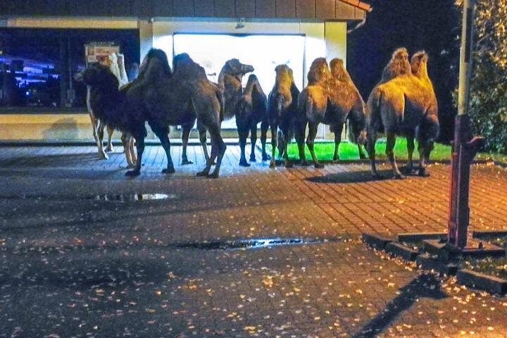 Die Kamele machten einen abendlichen Spaziergang. (Symbolbild)