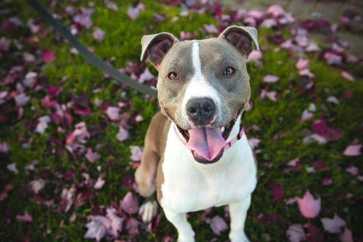Zu Freundlich? Kupier-Fans würden diesem friedlichen Hund vermutlich die Ohren stutzen, damit er böser aussieht.