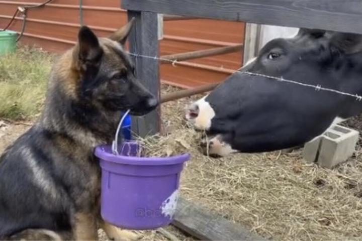 Mit treuem Blick und dem Eimer im Maul füttert der Schäferhund eine Kuh.