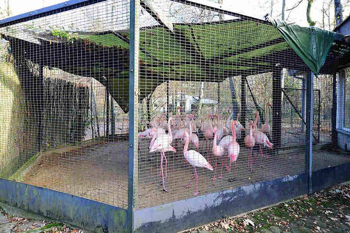Im Chemnitzer Tierpark wurden alle Vogelgehege mit Planen zum Schutz vor der Vogelgrippe abgedeckt. Die Flamingos mussten in das geschlossene Winterquartier umziehen.