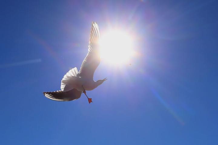 Eine Möwe schnappt im Sonnenschein bei einem Flugmanöver nach einem Stück Brot (Symbolbild).