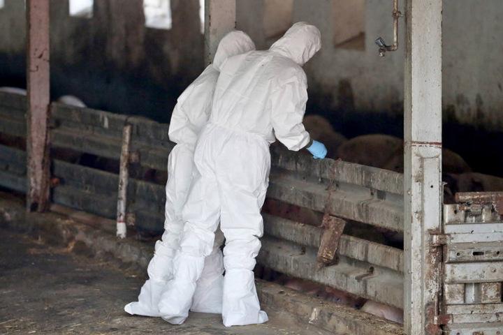 Tiermedizinier während einer Übung zur Bekämpfung der Afrikanischen Schweinepest in einem Schweinestall.